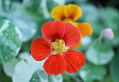 Nasturtiums (Through Serena's Lens) Tags: 7dwf nasturtiums botanical bright petals canoneos6dmarkii dof bokeh nature plant flora flower macro