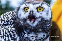 La Latte 08-18_525 (mgroyaume) Tags: harfang neige chouette hibou médiévale fort lalatte château roche goyon viking oiseau fête moyenâge middleage castel bretagne brittany regard