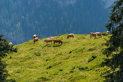 Swiss cows (matthew:D) Tags: grass moutains eating apls wunderlust switzerland lauterbrunnen brown culture trees summer photograph cows rural animals country europe travel green