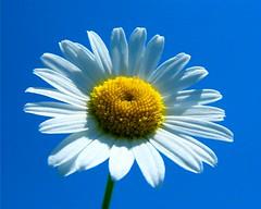 Daisy in the Blue Sky (Stanley Zimny (Thank You for 31 Million views)) Tags: flower bronx botanical garden ny macro daisy blue sky