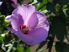 ibisco sotto casa (fotomie2009) Tags: flower fiore flora hibiscus syriacus ibisco rose sharon pink