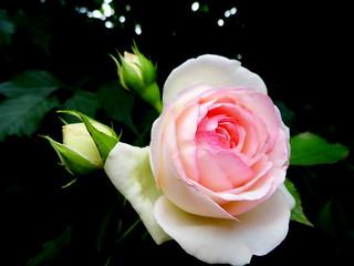 Rose parfumée d'un souvenir...