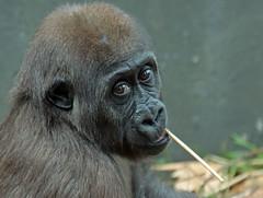 western lowlandgorilla Yanga Artis JN6A1311 (j.a.kok) Tags: gorilla westelijkelaaglandgorilla westernlowlandgorilla lowlandgorilla laaglandgorilla yanga animal artis africa afrika aap ape mammal monkey mensaap primate primaat zoogdier dier