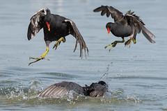 Moorhen & Coot July 2018 (jgsnow) Tags: purple bird waterbird moorhen coot fighting
