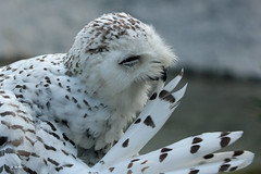 Snowy owl (K.Verhulst) Tags: snowyowl sneeuwuil uil owl birds vogels wildlands wildlandsadventurezoo emmen bird