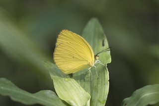 Eurema nise