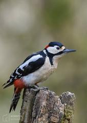 GSW in A4 Crop (mikedenton19) Tags: great spotted woodpecker dendrocopos major dendrocoposmajor durhamwildlifetrust dwt lowbarns nature reserve bird wildlife trust feeding male perch bokeh