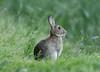 European Hare Leveret Lepus europaeus 001-1 (cwoodend..........Thanks) Tags: hare europeanhare lepus lepuseuropaeus leporid wildlife 2018 warwickshire leveret