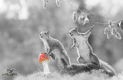 red squirrels are with a toadstool (Geert Weggen) Tags: animal autumn bright bud cheerful closeup cute flower foodanddrink horizontal humor land lightnaturalphenomenon mammal moss mushroom nature perennial photography plant red rodent springtime squirrel summer sweden tasting toadstool fun fight fall couple attack hopplant bispgården jämtland geert geertweggen ragunda