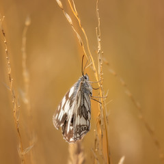 Summers used to be green .... (FocusPocus Photography) Tags: schachbrett marbledwhite melanargiagalathea schmetterling butterfly falter tier animal insekt insect gras grass hitzewelle heatwave sommer summer
