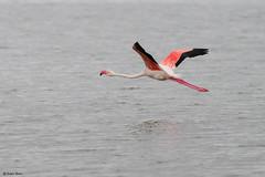 The greater flamingo (Phoenicopterus roseus) (surferjaws) Tags: wildnature wild kenya amboselinationalpark africa animals naturewild
