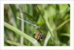 Peut-être un peu d'inquiètude dans ce regard!? (Francis =Photography=) Tags: insecte agrion animal animalia coenagrion yeux eyes macro agrionélégan zygoptères ischnuraelegans libellule