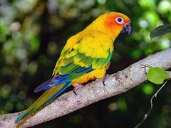 """Sun Parrot . Good morning my friend! . Desert Park Alice Springs (Uhlenhorst) Tags: 2007 australia australien animals tiere birds vögel travel reisen coth coth5 ngc lovelymotherearth"""""""