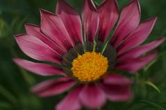 DSC08177- Elaboration of Pink (oliveplum) Tags: daisy flowerdome gardensbythebay leica60f28macro sony singapore bokeh marinabay