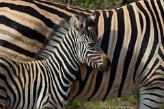 Zebra foal (leendert3) Tags: leonmolenaar southafrica krugernationalpark wildlife nature mammals burchellszebra ngc npc