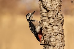 Pica-pau-malhado-grande, The Great Spotted Woodpecker(Dendrocopos major) (Nuno Xavier Moreira) Tags: picapaumalhadogrande thegreatspottedwoodpeckerdendrocoposmajoremliberdadewildlifenunoxavierlopesmoreirangc animals animais aves de portugal observação nature natureza selvagem pics wildlife wildnature wild photographer birds birding birdwatching em bird ao ar livre ornitologia ngc nuno xavier moreira nunoxaviermoreira liberdade national geographic all xpress us dendrocoposmajor greatspottedwoodpecker o
