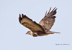 Buzzard (Alan McCluskie) Tags: buzzardinflight buzzard birdofprey birds aves raptor nature wildlife