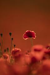 Poppies (Daniel Trim) Tags: poppy poppies wild flower wildflower meadow summer bedfordshire pegs don hills pegsdon papaver rhoeas common field fields grass park tree garden macro