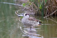 376A5603 (bon97900) Tags: 2018 adelaidehills birds ducks laratingawetlands mountbarker pinkearedducks southaustralia