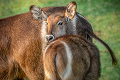 See My Ellipse! (helenehoffman) Tags: africa conservationstatusleastconcern ellipsenwaterbuck sandiegozoosafaripark antelope ringedwaterbuck subsaharanafrica bovidae commonwaterbuck mammal alittlebeauty coth coth5