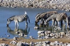 °Zebras (J.Legov) Tags: zebras tiere animal wasser water steine panasoniclumixdmczx1 2011