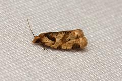 Tortricidae sp. - Kibale, Uganda (Nick Dean1) Tags: animalia arthropoda arthropod hexapoda hexapod insect insecta lepidoptera moth kibale kibalenationalpark uganda