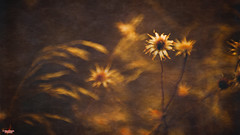 The Wheat and the Tares (MBates Foto) Tags: availablelight bokeh botanicals color daylight existinglight floral flowers nikkorlens nikon nikond810 nikonfx outdoors plants textures wildflowers spokane washington unitedstates 99203 elitegalleryaoi bestcapturesaoi
