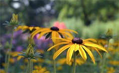 (farmspeedracer) Tags: summer flower 2018 juli july garden park nature blume fleur yellow amarillo gelb