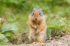 A very young cute Columbian Ground Squirrel 501_1953.jpg (Mobile Lynn) Tags: columbiangroundsquirrel rodents groundsquirrel squirrel nature fauna mammal mammals rodent rodentia urocitelluscolumbianus wildlife massive alberta canada ca coth specanimal coth5 ngc npc