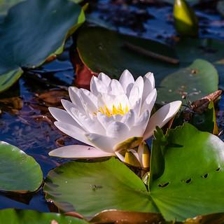 Even flies like water lilies :-)