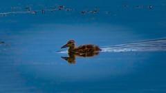 _1100138_a-1 (ron_kuest) Tags: ronkuest baskettsloughnationalwildliferefuge ducks