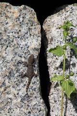 IMG_4859 (Laurent Lebois ©) Tags: laurentlebois france corse corsica zicavo corsedusud reptile rettile reptil рептилия lézard lizard lucertola lagarto eidechse ящерица sauria hepetology herping