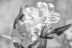 Sisters (Elisafox22) Tags: elisafox22 sony ilca77m2 100mmf28 macro macrolens telemacro lens alstroemeria bokeh hmbt monochromebokehthursday flower petals three lily incalily monochrome peruvianlily blackandwhite monotone shadows bw mono greyscale elisaliddell©2018
