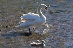 Swans (Vikuri) Tags: helsinki suomi kaivopuisto canon nature city capital 2018 swans joutsenet joutsen animals birds