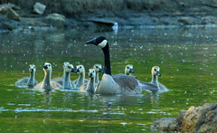 """Close for comfort <>-<> (Darrell Colby """" You Call The Shots """") Tags: comfort comfortable close family goose geese gosling young canadagoose mother mothergoose londonontario darrell colby"""