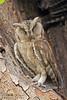 Camouflage.. (Dr. Nishith Kumar Photography) Tags: drnishithkumarphotography drnishith drnishithkumar nishith nationalgeographic nationalgeographicworldwide nationalgeography owl owlet scopsowl scopsowlet ranthambore rajasthan ranthamboretigersanctuary ranthamborenationalpark wildlife wwf wildlifesafari bird birdsofindia birdphotography background canon canon7dmarkii 7dmarkii sigma safari sigma150600contemporary sigma150600 sigma150600c