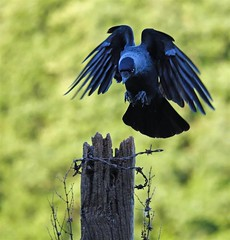 Incoming Jackdaw... (Gary Neville) Tags: sony sonyrx10iv rx10m4 rx10iv bird bif birdinflight garyneville