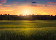 sunny field (andreassofus) Tags: filed grass sunset light sunlight evening summer summertime trees nature landscape sky cllouds beautiful sweden töcksfors holmedal canon manfrotto canon6d