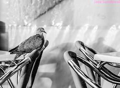 Tórtola. Morro Jable, Fuerteventura, septiembre 2017. (Jazz Sandoval) Tags: 2017 ave animal blanco blancoynegro bn bw black blackandwhite bar contraste canarias curiosidad calle curiosity city ciudad contrast cienciasnaturales digital day dìa elfumador españa exterior enlacalle fotografíadecalle fotodecalle fotografíacallejera fotosdecalle fuerteventura hierro white islascanarias ilustración jazzsandoval luz light monocromática monócromo metal negro nero noiretblanc nature naturaleza una posada morrojable quieta streetphotography streetphoto sombras sola sillas única
