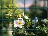 caged dog-5270257 (E.........'s Diary) Tags: eddie ross olympus omd em5 mark ii spring 2018 rosa dog rose behind fence