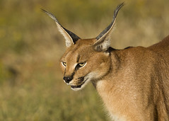 Caracal Namibia E48G0946 (susan yeomans) Tags: namibia africa wildlife cat feline caracal safari natural etosha etoshanationalpark