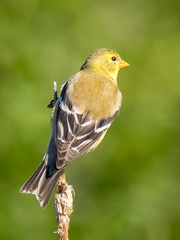 Female American Goldfinch (claudiaulrikegoodall) Tags: