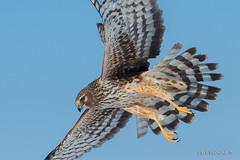 NHH female (Earl Reinink) Tags: hawk bird northernharrierhawk