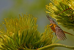 Female hooded oriole flight (justkim1106) Tags: oriole songbird nature wildlife texasbird centuryplant agaveamericana texasplant yellowflower