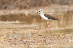 Black- winged stilt #bahrain #birdsofbahrain (Nature's Amore Photography) Tags: bahrain birdsofbahrain