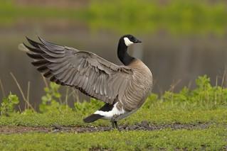 Cackling Goose (Branta hutchinsii)