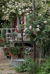 Trädgårds glädje (Hans Olofsson) Tags: garden rosor skammelstorp sommar trädgård trädgårdsglädje zink rosehelena balja krukor flowers blommor sweden gardening environment miljö eko