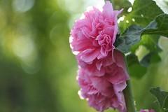 Mallow. (agnieszka.a.morawska) Tags: beyondbokeh bokehlicious bkhq macro dof bokeh nature helios helios44m pink garden summer flower mallow malwa