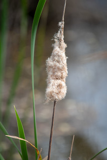 Fluffy Shedding Cattail Water Reeds