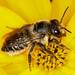 Wildbiene Megachile sp.180625 026.jpg